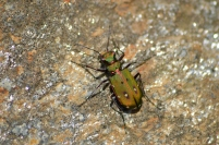 Green-tiger Beetle