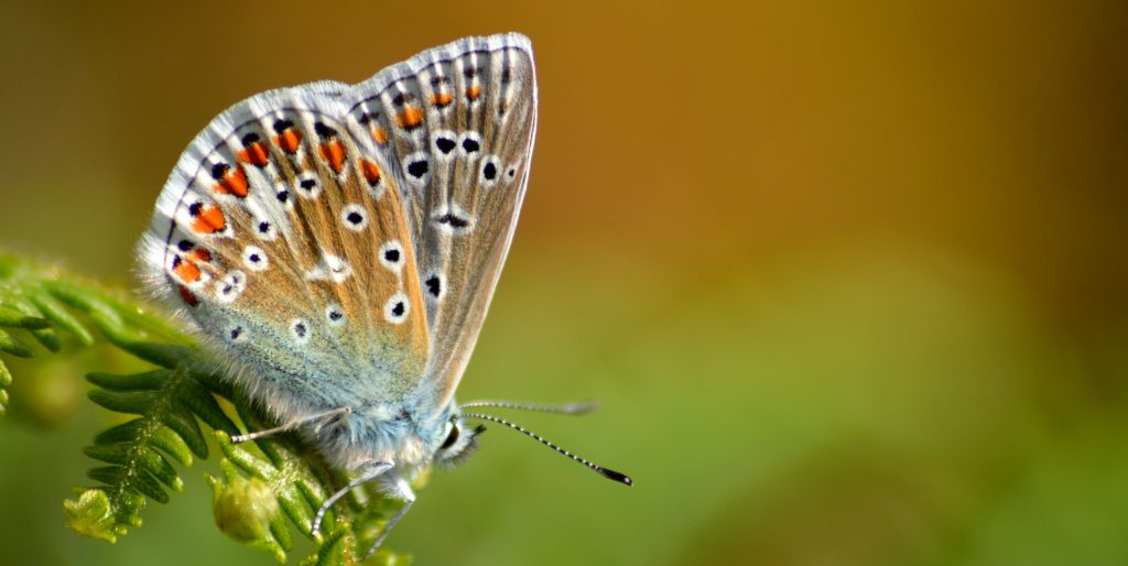 cropped-common-blue-invermark-31.jpg