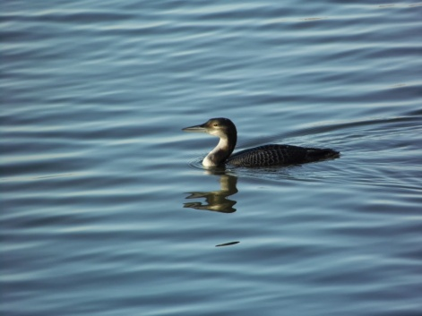 Great Northern Diver, Blyth Estuary. (3)