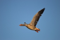Greylag Goose - East Chevington (3)