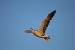 Greylag Goose - East Chevington (3)