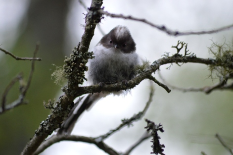 Long-Tailed Tit, Invermark.
