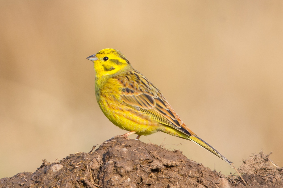 The Decline of the Yellowhammer in the UK