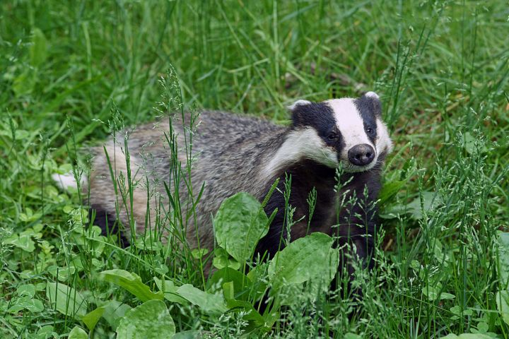 Declining Hedgehogs: Are Badgers toBlame?
