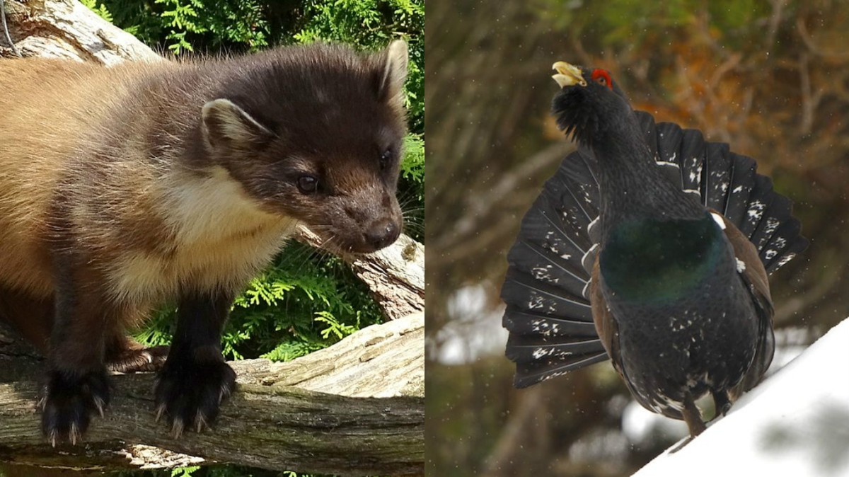 Martens & Capercaillie: A conflict of interests?