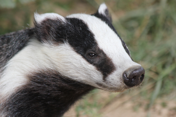Are Badgers over-protected?