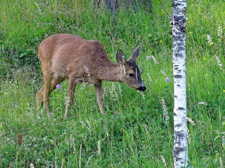 Are deer impacting upon woodlandbirds?