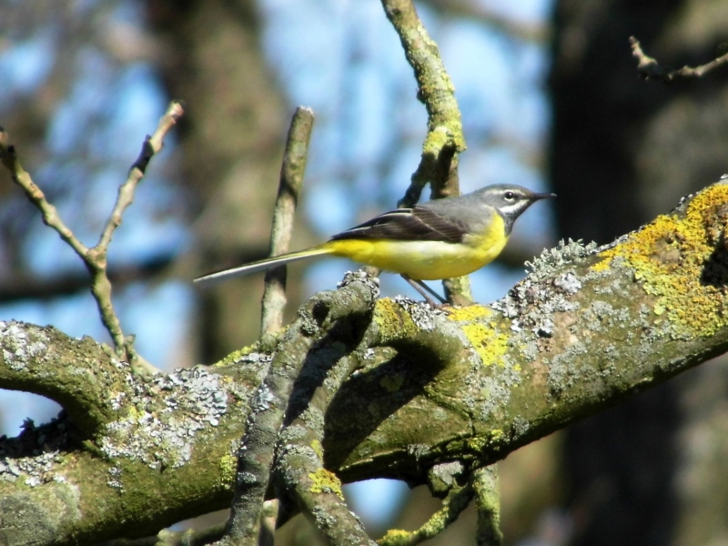 Grey Wagtail, River Petteril.