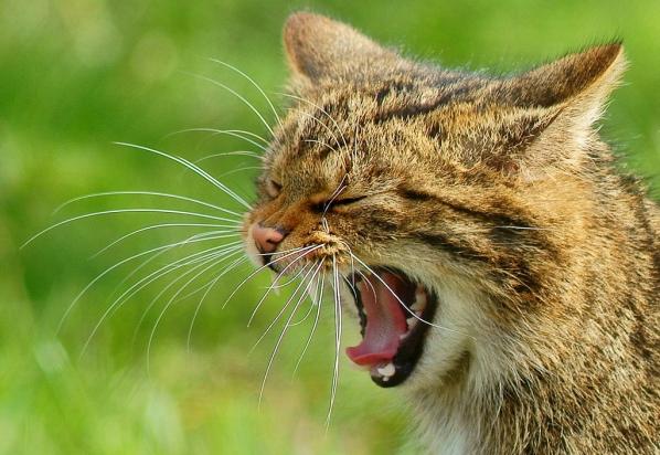Yawning_wildcat