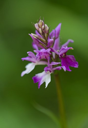 Common-Spotted-Orchid-Variant-(Dactylorhiza-fuchsii-var-rhodochila)