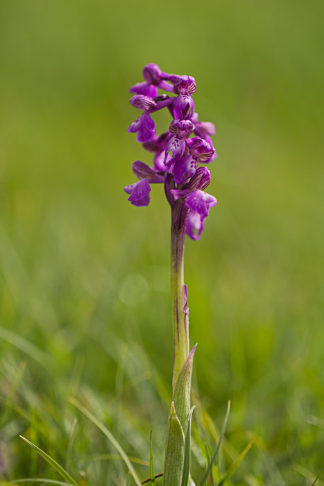 Green-Winged-Orchid