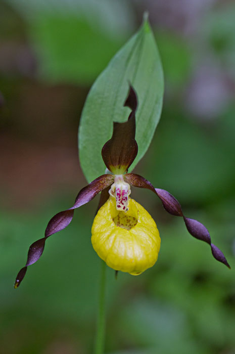 Lady's-Slipper-Orchid-(Cyprepedium-calceolus)