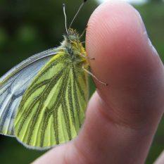 cropped-green-veined-whitethacka-beck-4.jpg