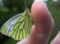 Green-veined White