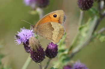 Meadow Brown, St. Abbs Head NNR (2)