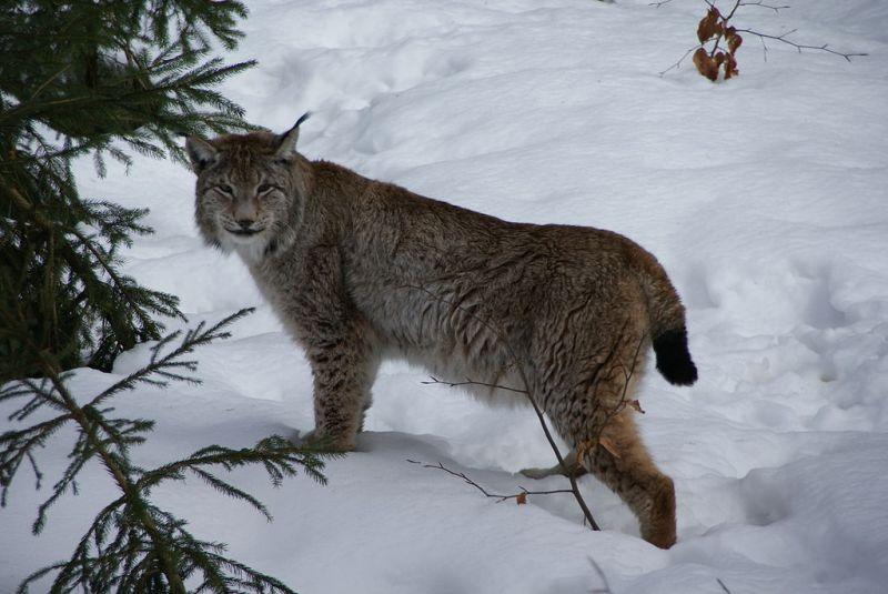 1024px-Lynx_Nationalpark_Bayerischer_Wald_01
