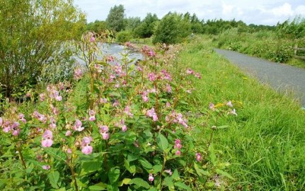 Himalayan_balsam_by_Lough_Neagh_-_geograph.org.uk_-_923430