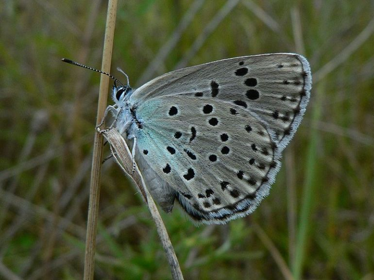 800px-Maculinea_arion_Large_Blue_Underside_SFrance_2009-07-18