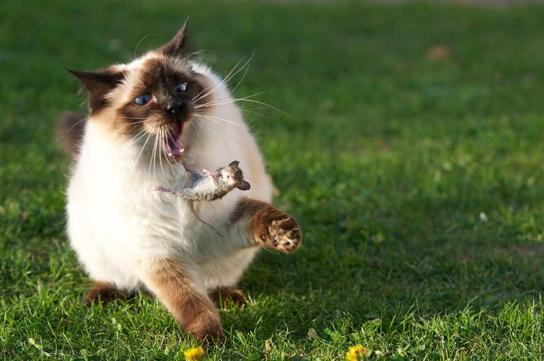 large_siamese_cat_tosses_a_mouse
