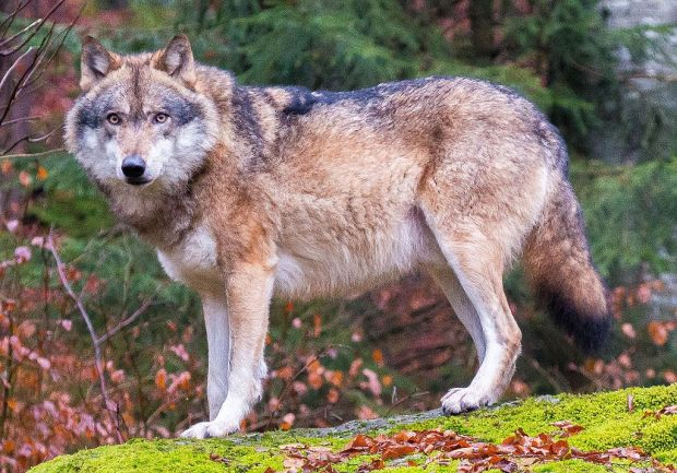 grey_wolves_in_bavarian_forest_national_park_cropped