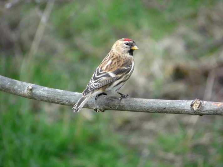lesser-redpoll-east-chevington-8