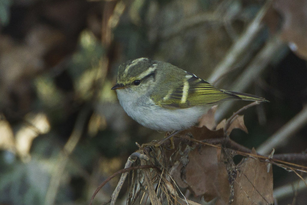 pallass_leaf-warbler_-_great_rarity_in_italy_s4e1751_19261546342