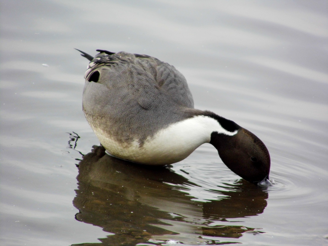 pintail-cresswell-pond