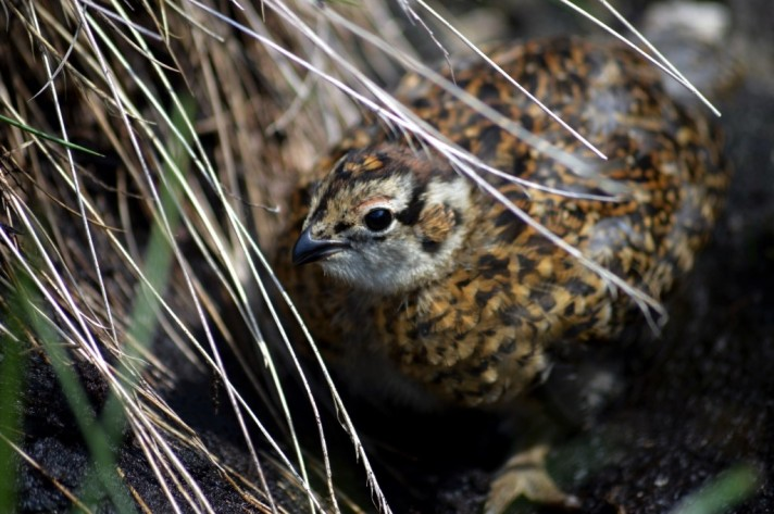red-grouse-invermark-3