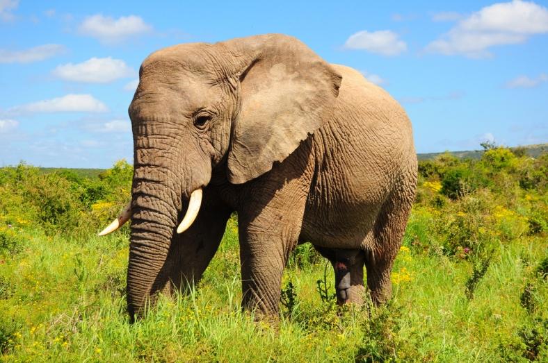 african-elephant-bull
