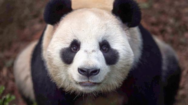 lovely-panda-1920x1080