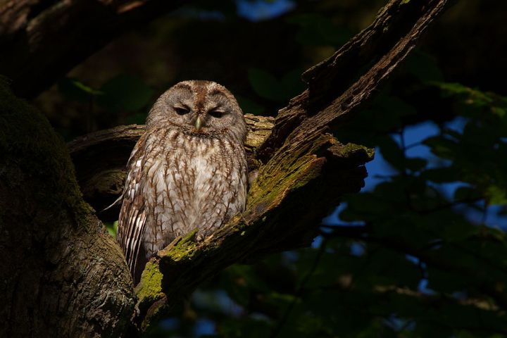 Top 10 Facts: The Tawny Owl