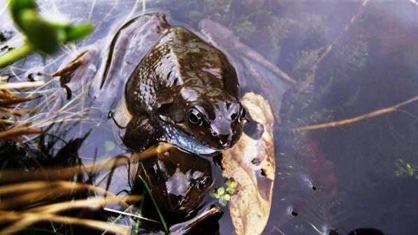 common-frog-newton-rigg-3