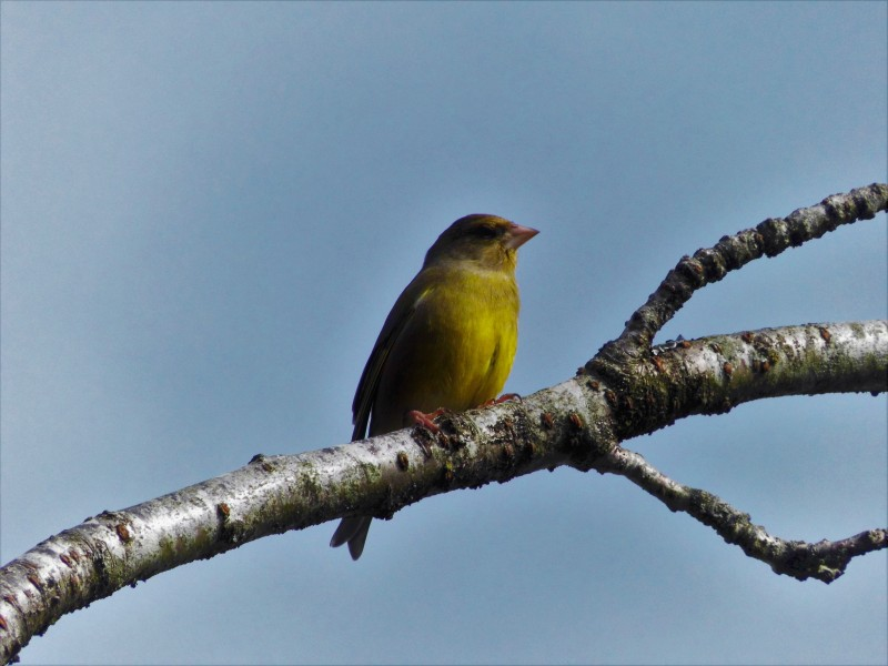 Greenfinch, Newton Rigg. (2)