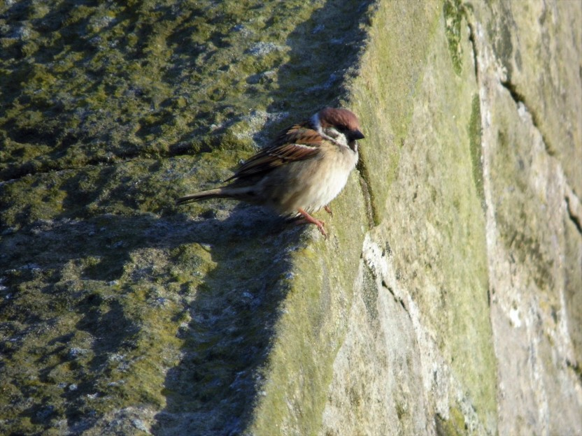 Tree Sparrow, Cresswell Pond.