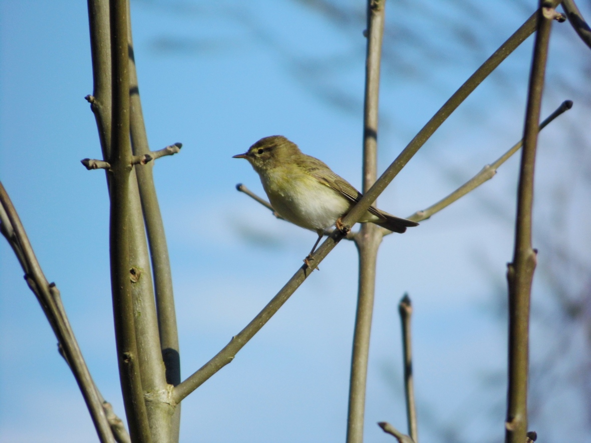 Willow Warbler, Stobswood.