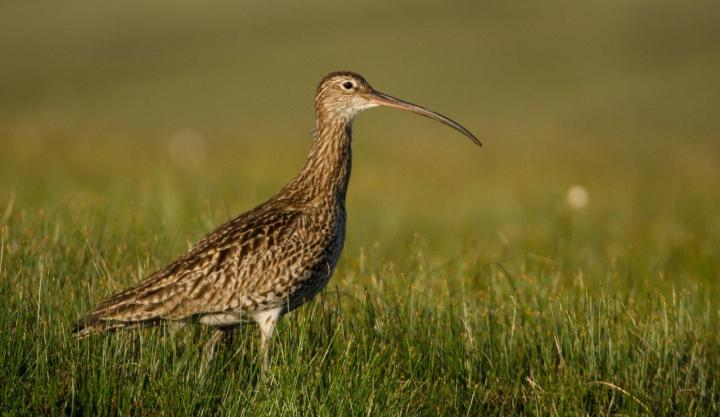North of England Curlew Festival: SomeThoughts