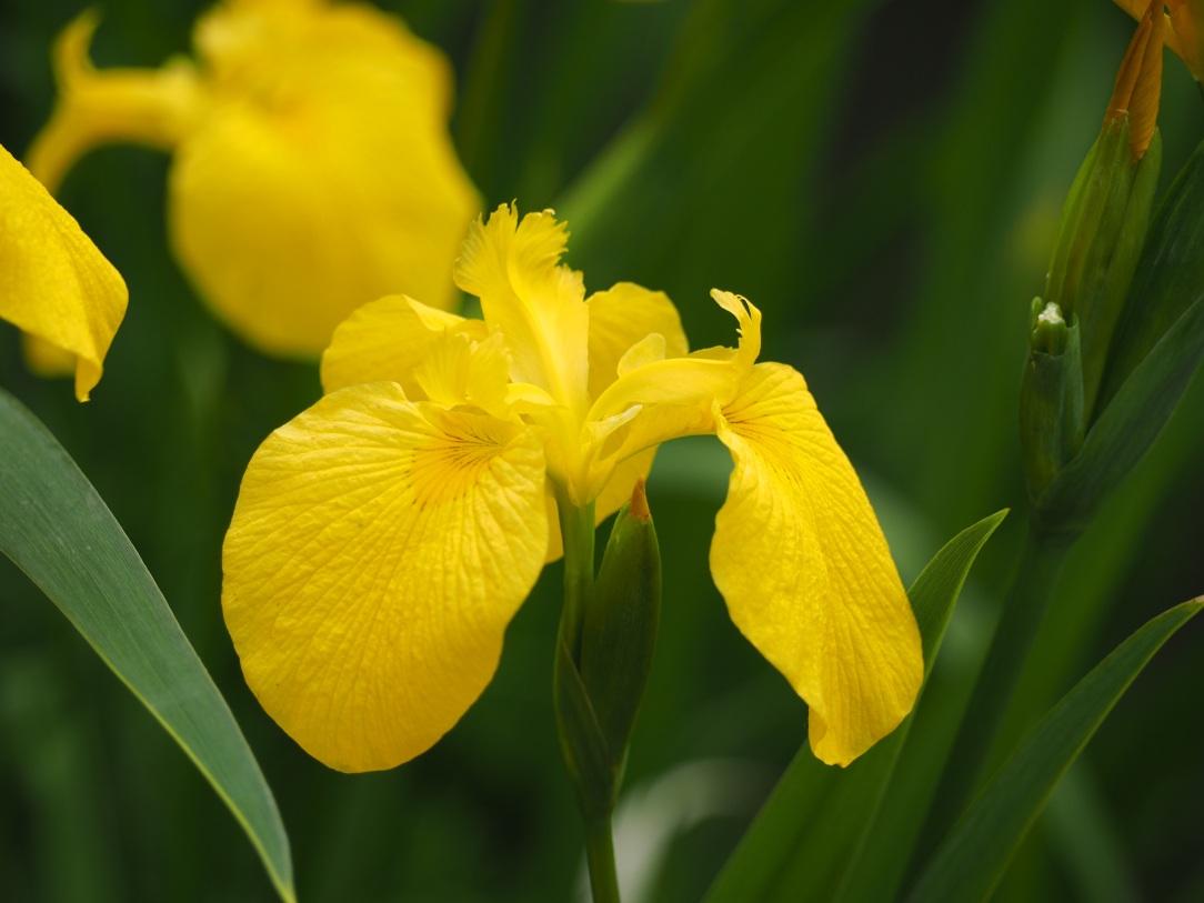 yellow-iris-760884