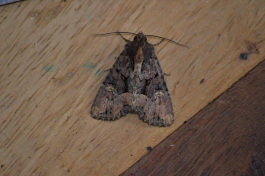 Common Rustic agg.