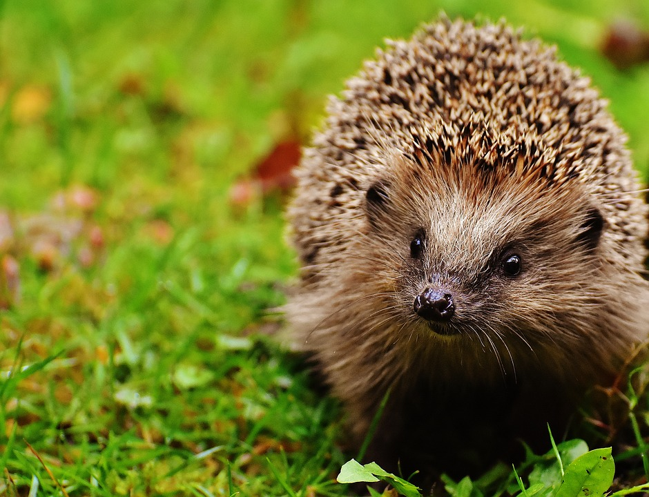 hedgehog-child-1759505_960_720