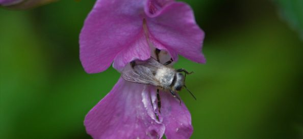 Honey Bee on Balsam