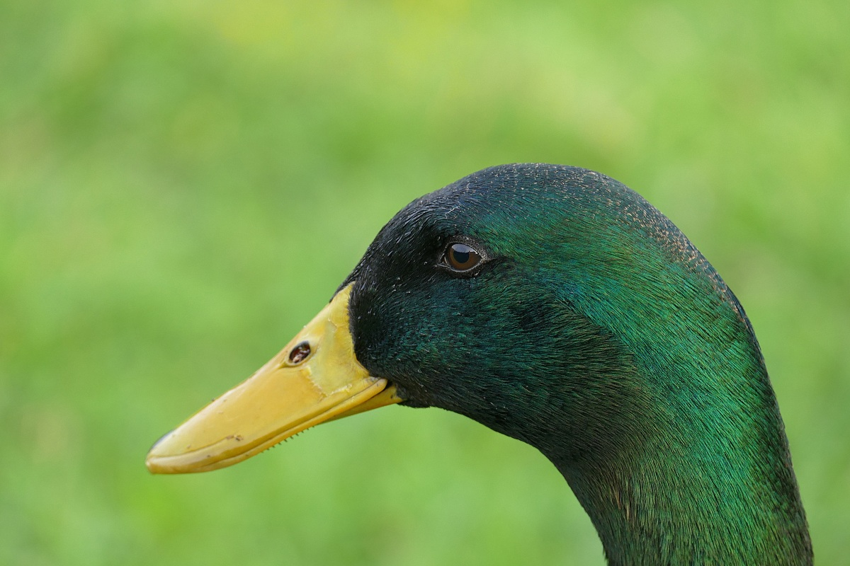 Top 10 Facts: Mallard