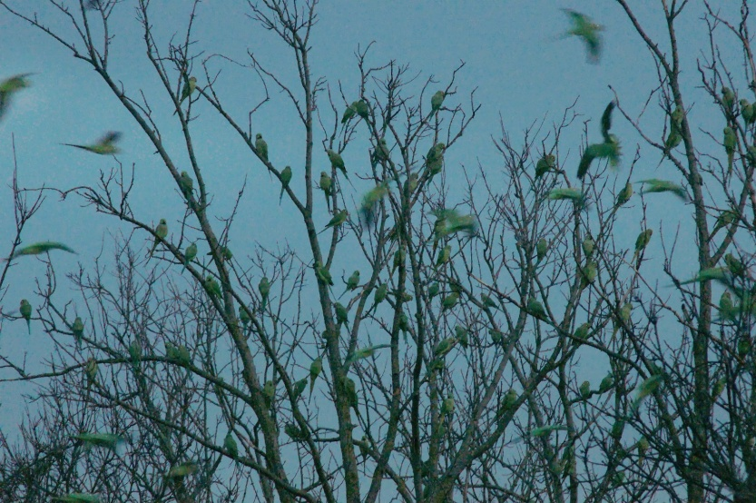 Ring-necked Parakeet roost 3 (scaled)
