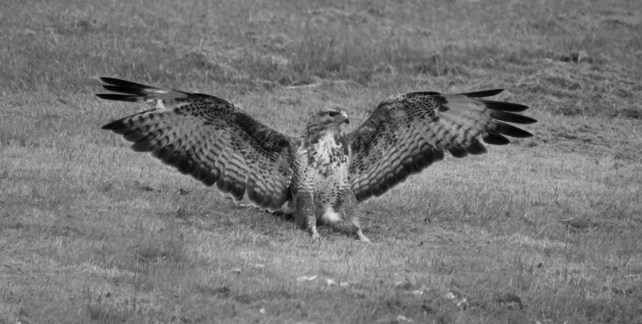 Report reveals continued persecution of birds of prey in UK