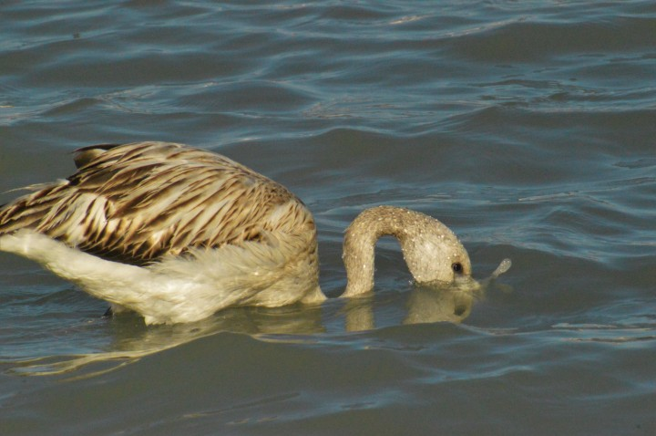 Urban birding in Benidorm (andCalpe)