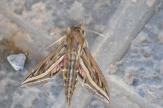 Silver-striped Hawkmoth