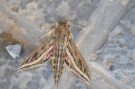 Silver-striped Hawkmoth