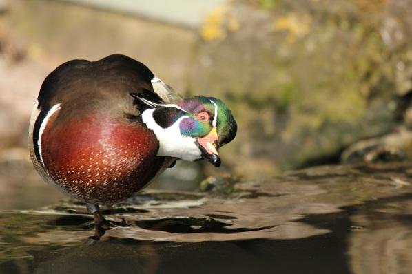 duck-2099810