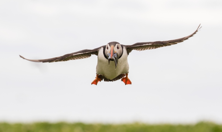 Initial steps taken to combat Puffin declines