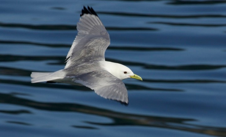 Kittiwakes join the UK Red List