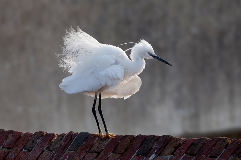 little-egret- Paul Chesterfield (rspb-images.com)